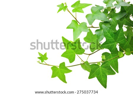 Ivy plant - stock photo