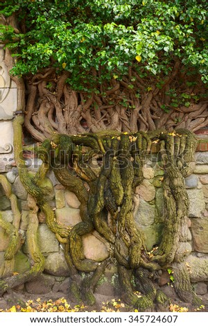 Ivy plant with huge massive roots climbing a stone wall in the garden.