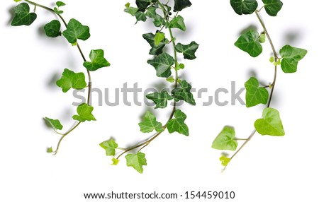 ivy twigs - stock photo
