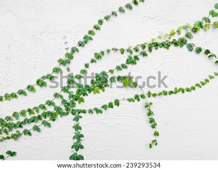 ivy vine on wall - stock photo