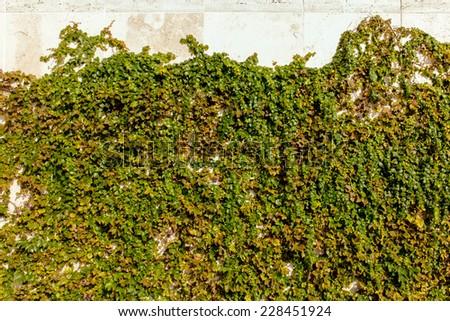 Ivy wall - stock photo