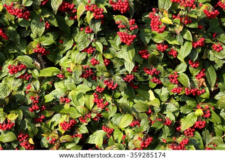 Ivy with vibrant Red Berries on a wall forms a natural background and texture shot. - stock photo