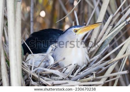 Ixobrychus minutus, Little Bittern. Nest in the nature. - stock photo