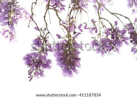 jacaranda flowers on branches  isolated on white background