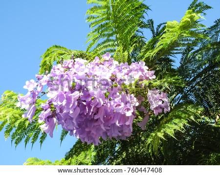 Palisanderholzbaum  Jacaranda Mimosifolia Stock Images, Royalty-Free Images & Vectors ...