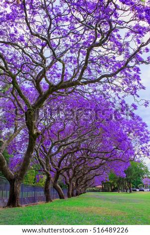 Jacaranda Tree Full Bloom Kogarah Australia Stock Photo Edit Now