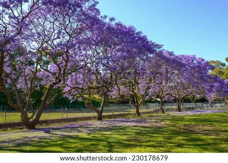 Jacaranda Tree Full Bloom Row Stock Photo Download Now 230178679