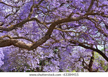 jacaranda trees in Pretoria, South Africa, purple bloom in October for background spring - stock photo