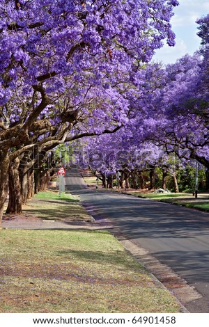 jacaranda trees lining the street in Pretoria, South Africa, purple bloom in October