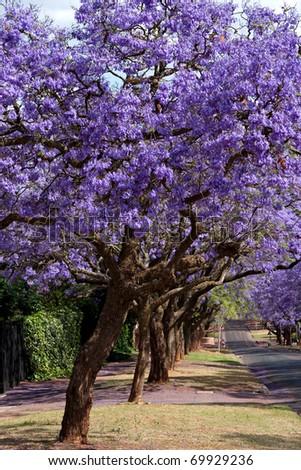 jacaranda trees lining the street in Pretoria, South Africa, purple bloom in October - stock photo