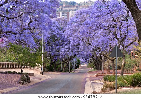 jacaranda trees lining the street in Pretoria, South Africa, purple bloom in October,with government Union buildings in the distance - stock photo