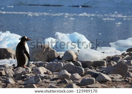 Jachass Penguins Antarctica - stock photo