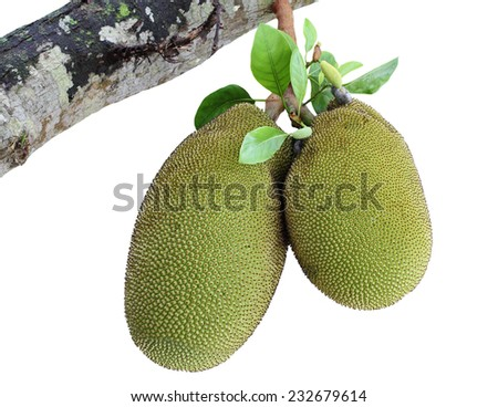 Jack fruit on jackfruit tree isolated on white background - stock photo