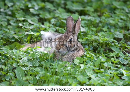 Jack Rabbit resting in a bed of grass.