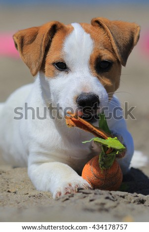 jack russel at the beach