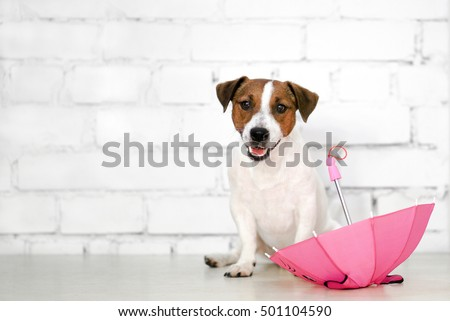 Jack Russel Dog and pink umbrella. Dog at white