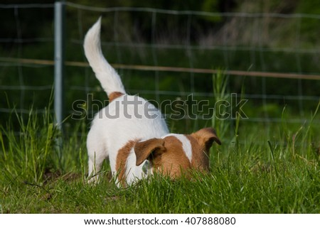 Jack Russel dog digs in a mousehole - stock photo