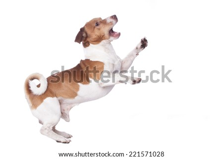 Jack Russel Dog , jumping isoltaed on a white background - stock photo