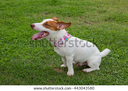 jack russel dog sitting on green grass background