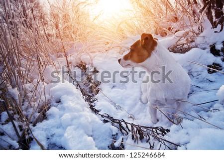 jack russel in snow closeup - stock photo
