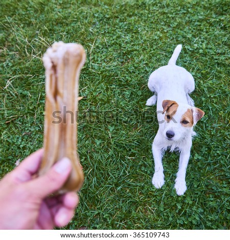 Jack russel parson terrier dog chewing bone