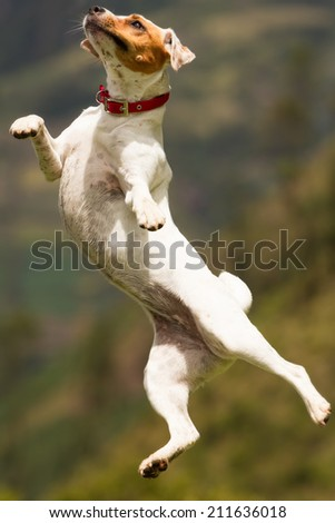 Jack Russel Parson terrier female practing shes ballet - stock photo