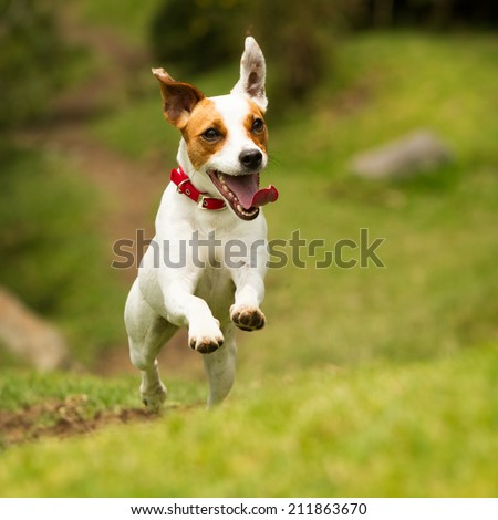 Jack Russel Parson terrier running  toward the camera, low angle high speed shot - stock photo