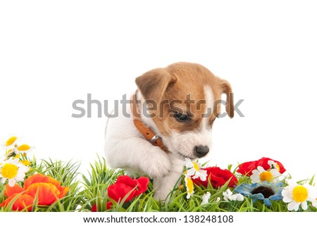 Jack Russel puppy dog walking in grass with flowers isolated over white background - stock photo