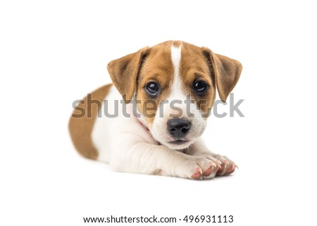 jack russel puppy isolated on white