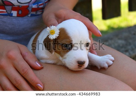 Jack Russel puppy with flower