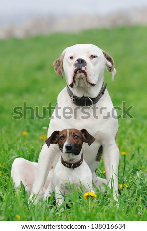 Jack russel terrier and American bulldog sitting in green grass - stock photo