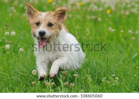 Jack Russel Terrier Dog puppy 6 months happy in the meadow