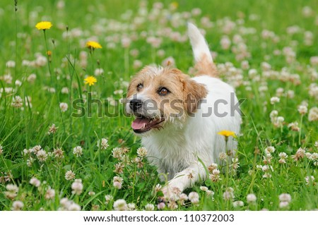 Jack Russel Terrier Dog puppy 6 months in the meadow
