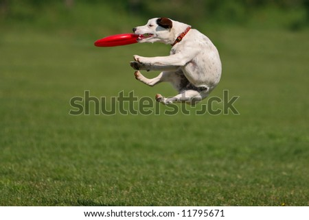Jack russel terrier during a funny frisbee catch... - stock photo
