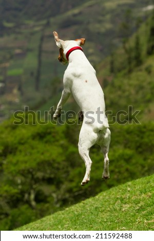 Jack Russel Terrier high jump, he is doing this to see further away - stock photo