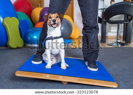 jack russel terrier in dog therapy - stock photo