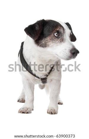 jack russel terrier isolated on a white background - stock photo
