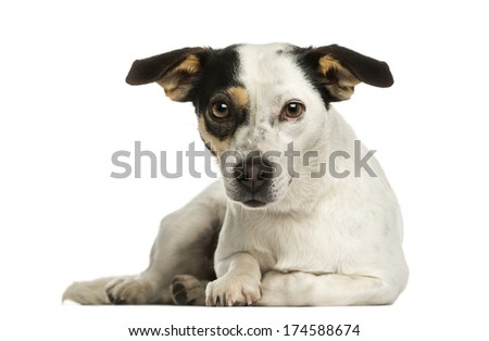 Jack russel terrier lying, looking at the camera, isolated on white - stock photo