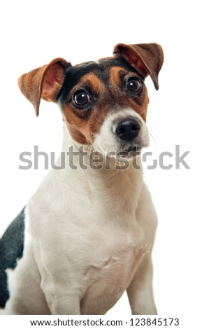 Jack russel terrier portrait isolated on white
