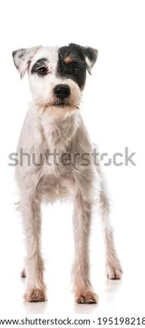 jack russel terrier standing - stock photo