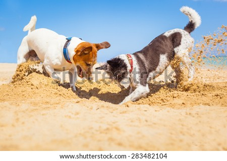 jack russell couple of dogs digging a hole in the sand at the beach on summer holiday vacation, ocean shore behind - stock photo