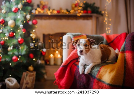 Jack Russell dog at the Christmas and New Year, portrait dog on a studio color background - stock photo