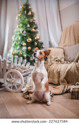 Jack Russell dog at the Christmas tree 2015 - stock photo