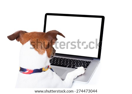 jack russell dog booking , searching or browsing online  the internet , with a laptop pc computer screen, isolated on white background - stock photo