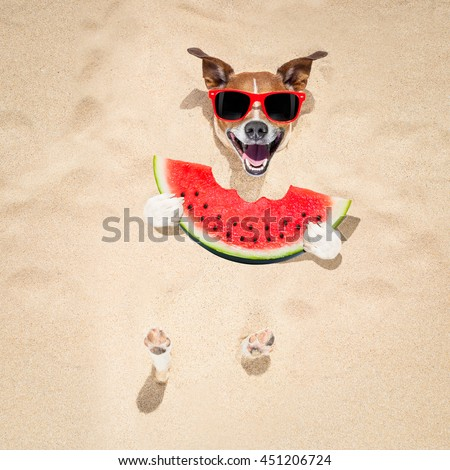 jack russell dog  buried in the sand at the beach on summer vacation holidays ,  wearing red sunglasses, eating a fresh juicy watermelon - stock photo