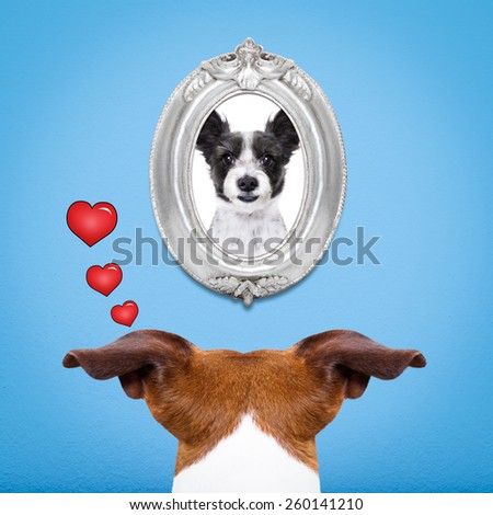 jack russell dog from back behind , watching ,looking or staring  his big love in a frame at the wall, remembering old good times - stock photo
