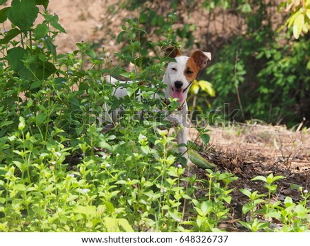 jack russell dog hiding behind the bush