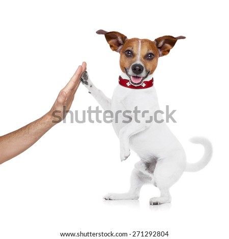 jack russell dog high five with paws with hand of owner , happy and celebrating their success as a team and a perfect couple , isolated on white background - stock photo