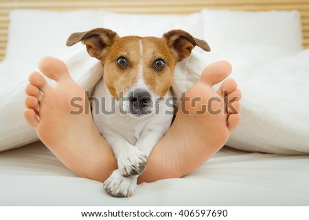 jack russell dog in bed resting with owner close together and cuddling  - stock photo