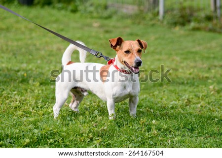 Jack Russell dog in park - stock photo